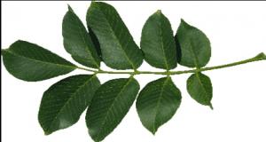 les feuilles de noyer remède naturel contre l'acné hormonale