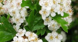 traitement ménopause à base de plantes