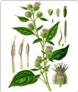 plantes pour soulager un abcès